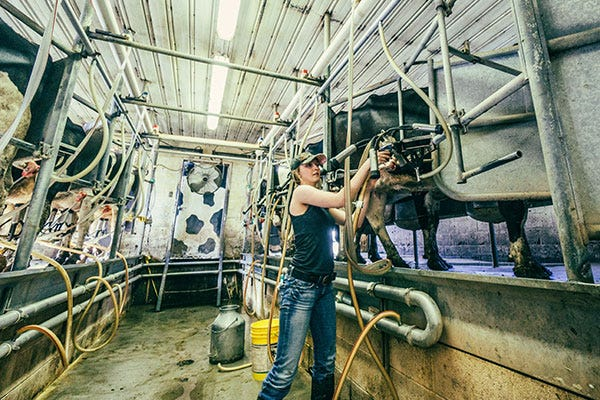 Woman milking dairy farm cow